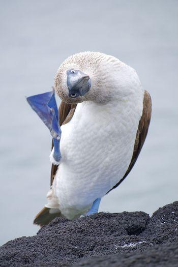 Pata Azul Animal Themes Animal Wildlife Animal Bird Vertebrate Animals In The Wild One Animal