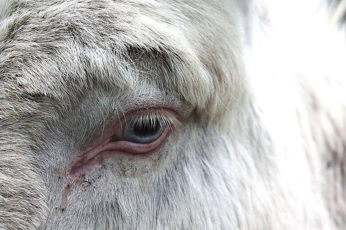Pets Corner Donkey Albino Wildlife Photography Wildpark Schwarze Berge Blue Eyed Rare Animal Photography Albinism Eyeing You