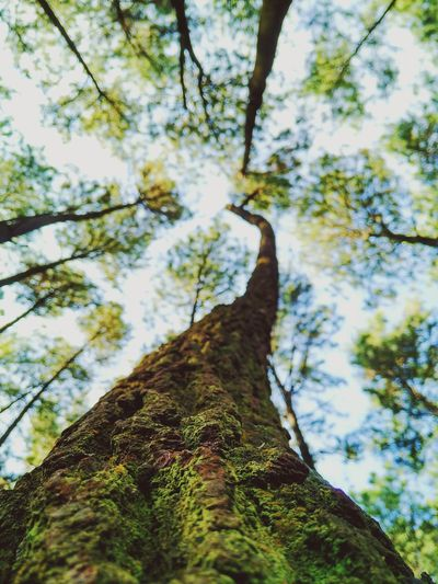 Finding New Frontiers Pine Forest Tree Low Angle View Nature Beauty In Nature Pine Trees Forest Tree Trunk ExploreEverything Exploring New Ground Outdoors Exploration at Gunung Pancar Bogor, Indonesia