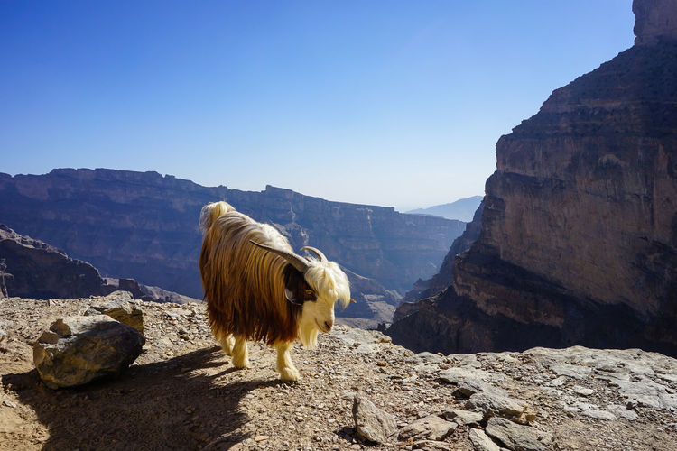 Mountain goat standing on rock against clear sky