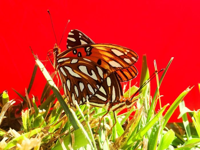 Close-up of butterfly perching on red flower