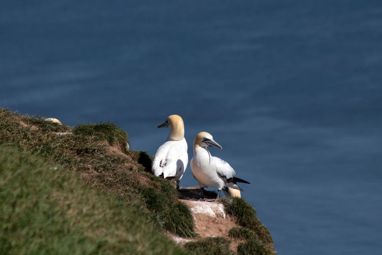 A pair of gannets on a cliff edge at bempton cliffs, north yorkshire, england