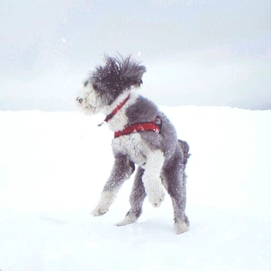 Swiss Jungfrau Dog
