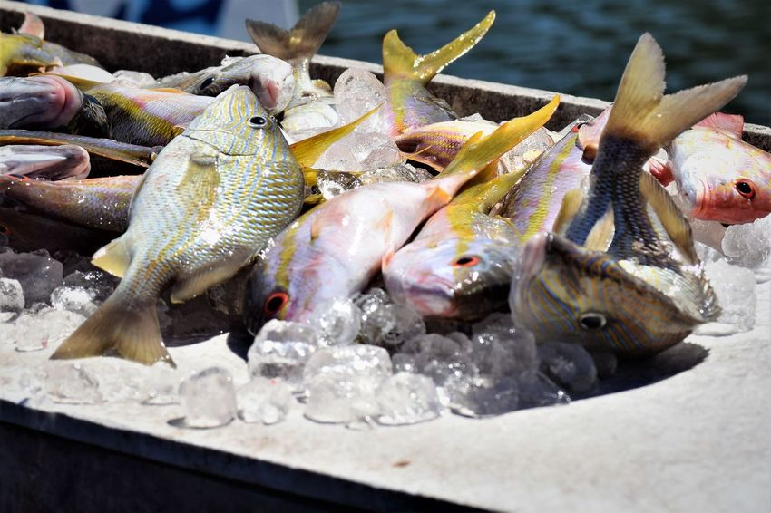 Fresh fish catch of the day - Key Largo Fresh Fish Seafood Catch Of Fish Catch Of The Day Close-up Fish Fish Photography Fishing Food Healthy Eating No People Ocean Fish