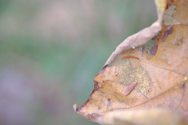 old dry leaf blurred background. Plant Part Leaf Close-up Autumn Day Selective Focus Dry Focus On Foreground Nature Change Outdoors Plant No People Leaves Brown Beauty In Nature Tree Fragility Leaf Vein Maple Leaf Dried Natural Condition