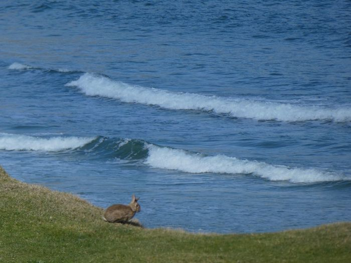 Rabbit on the cliff edge Wildlife Rabbit - Animal Outer Hebrides Spring Isle Of Lewis Rabbit Wildlife Water Land Animal Sea Mammal Animal Themes Vertebrate Beauty In Nature No People Beach One Animal Nature Day Plant Grass Animal Wildlife Scenics - Nature Animals In The Wild Outdoors