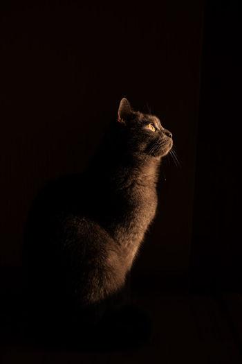 Cat looking away over black background