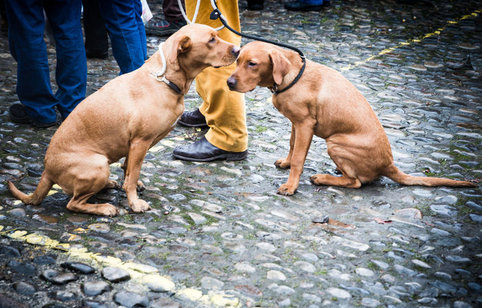 Grassington Dickension Festival - Mother & Son Vizsla Dogs Dickension Festival Dogs Sitting Sitting Outside Vizsla Vizsla Dog Yorkshire Close-up Cute Day Dog Dog Lead Domestic Animals Grassington Mammal Mother & Son Outdoors Pavement Pebble Pavement Pet Pets Togetherness Winter Festival