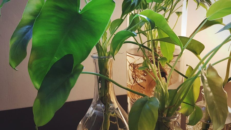 indoor water plants in glass vase EyeEm Selects Plants Home Interior Home Decor Life Green Leaves🌿 Roots Of Tree Roots Of Life Roots And Branches Close-up Leaf Green Color Growth Nature Plant Animal Wildlife No People