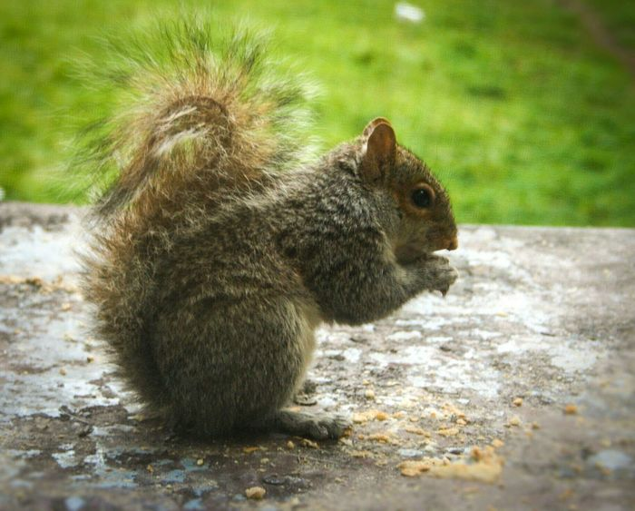 "So...like clock work at 12pm everyday ""Chunky"" the squirrel munches on either bread or walnuts in front of my back yard window... Squirrel Backyardphotography Eyem Best Shots Taking Photos Canon Rebel XT Getting In Touch Friendship Animal Photography Photos Around You Peace And Quiet"