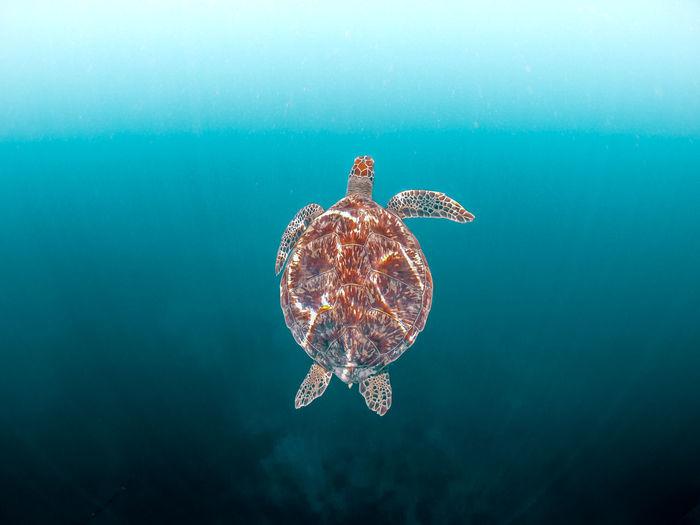 Wild sea turtle swimming in the blue ocean