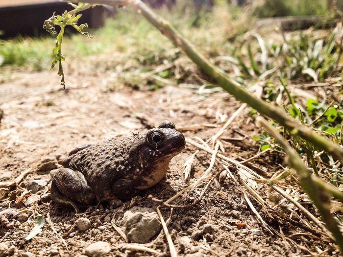 Perdido en el jardín Nature Frog Rana Reptiles Inmygarden