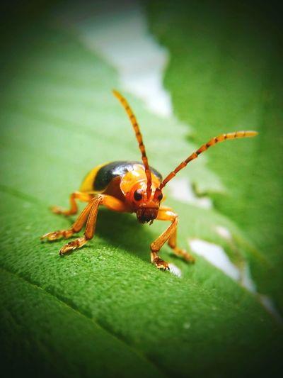 Leaf beetle...