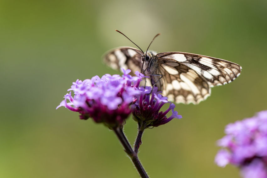 Melanargia Galathea Animal Animal Themes Animal Wildlife Animal Wing Beauty In Nature Butterfly Butterfly - Insect Close-up Flower Flowering Plant Fragility Freshness Insect Invertebrate Macro Marbled White One Animal Outdoors Petal Plant Pollination Pretty Verbena Purple Vulnerability