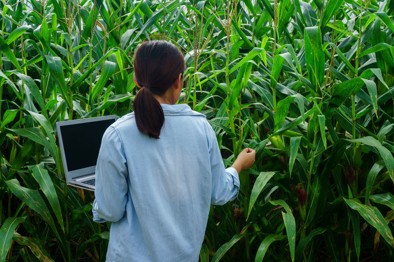 Rear View Of Woman Examining Corn Crops While Using Laptop