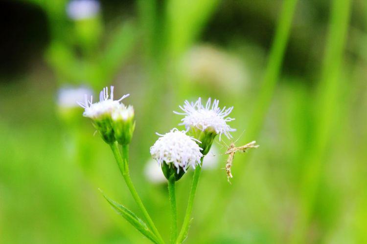 Bunga padang