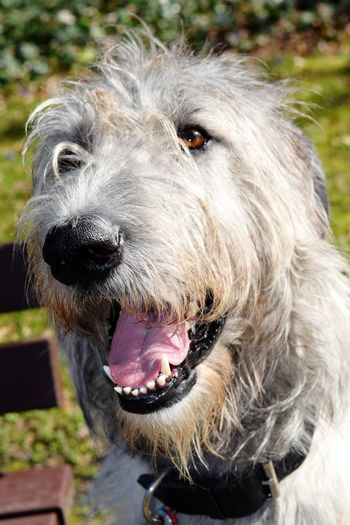 Animal Themes Domestic Animals Close-up Portrait Cearnaigh Springtime Dogslife Irish Wolfhound Dogs Of EyeEm Dog Of The Day Dogs Of Spring Dogwalk A Walk In The Park Dog How Is The Weather Today? March 2017 Spring 2017 Bokeh Sunlight Spring Is In The Air