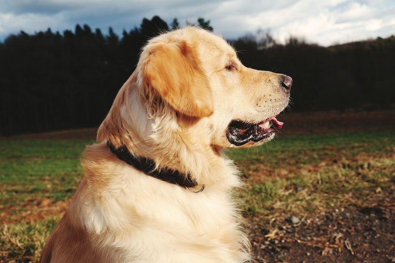 Dog Pets Sky Outdoors Nature Photography Dogphotography Goldenretriever Portrait Cloudscapes