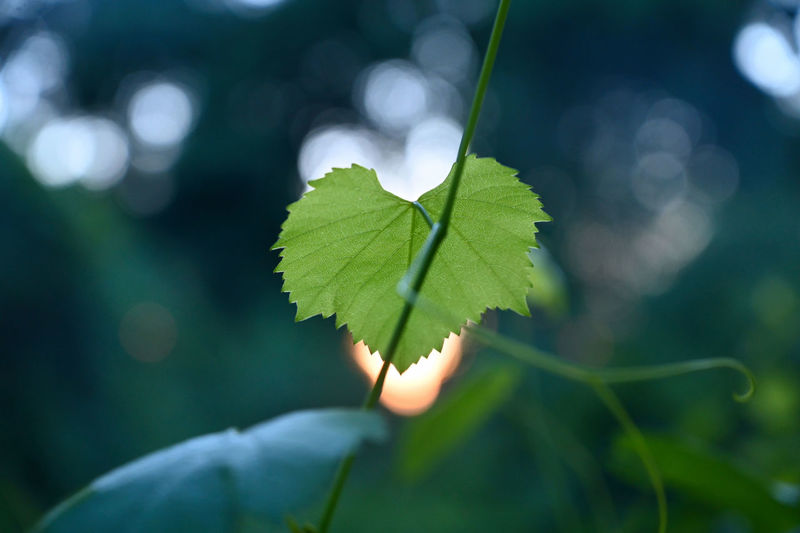 The beauty in the morning. Leaf Plant Part Green Color Plant Growth Close-up Focus On Foreground Nature Day Selective Focus Beauty In Nature Outdoors No People Leaf Vein Vulnerability  Fragility Freshness Land Plant Stem Leaves Morning