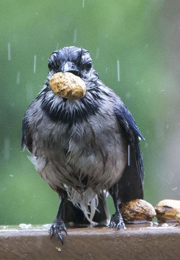 Soaking wet Animal Wildlife Animals In The Wild Beak Bird Bird Eating Peanuts Bird's Head Focus On Foreground Nature One Animal Outdoors Water Wet Bird Wet Blue Jay