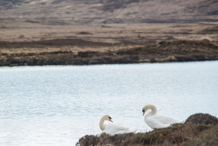 Animal Themes Animal Wildlife Animals In The Wild Beauty In Nature Day Lake Loch  Nature No People Outdoors Outer Hebrides Scotland Scotland Wild Landscape Swan Swans Two Swans Water