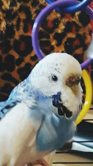 Seth Feathered Friends My Pets Birds_collection Bird Photography Birds Budgies Budgerigar