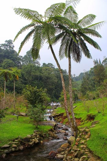 Palm Tree Gunung Gede INDONESIA Gunung Gede Pangrango West Java,Indonesia Adventure Tree Water Palm Tree Greenhouse Irrigation Equipment Sky Grass Green Color Tropical Tree Palm Leaf Tropical Climate Fruit Tree