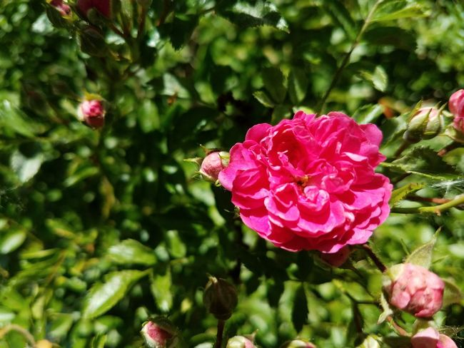 Flower Pink Color Plant Nature Petal Flower Head No People Beauty In Nature Rose - Flower Close-up Outdoors Botanical Garden Growth Fragility Day Freshness Klein Indiana