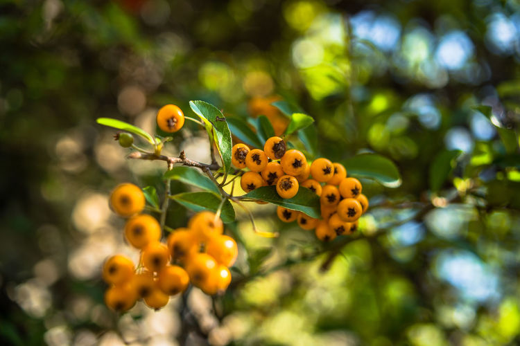 Portofino Natural Regional Park Beauty In Nature Berry Fruit Close-up Day Focus On Foreground Food Food And Drink Freshness Fruit Grape Green Color Growth Leaf Liguria Nature No People Outdoors Plant Tree Yellow