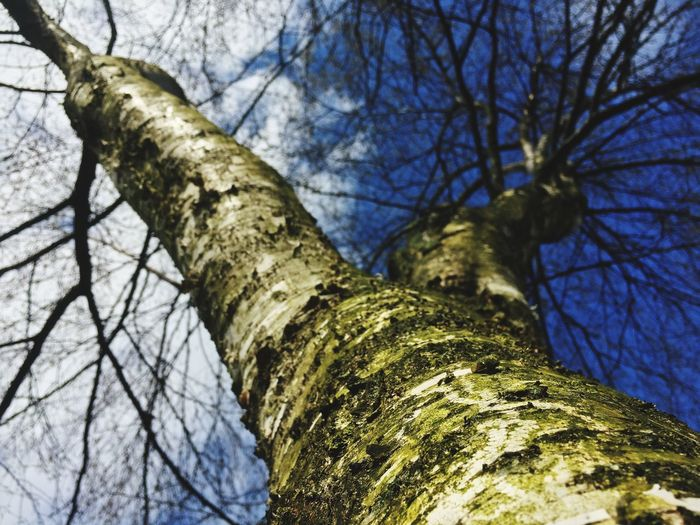 Tree Tree Trunk Branch Bare Tree Low Angle View Nature Growth Textured  Outdoors Day Beauty In Nature Sky Bark No People Blue Close-up Freshness
