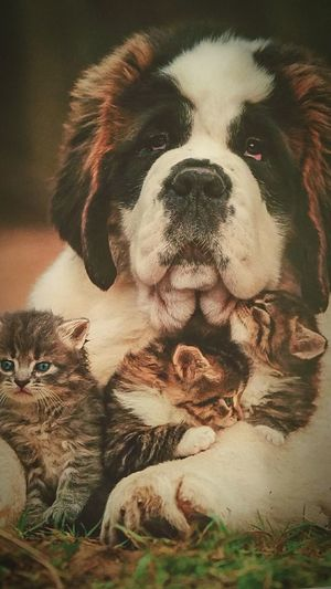 Hello World Hola Mundo ✌ Check This Out St Bernard 😉 Protector Swiss Like Me, WithKM With These 3 Kitties @ If Only People Could Undde Understand That Sticking Together, Love A are the only words that would lead us to PEACE ✌💖💚💋💋👪😻😍😘😳😆 togetherness..stik together, where ever you're from....😇😘😘