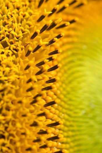 Macro Sunflower Yellow Growth Plant Flower Flowering Plant Beauty In Nature Freshness No People Inflorescence Nature Full Frame Day Selective Focus Backgrounds Vulnerability  Close-up Fragility Flower Head Petal Pollen