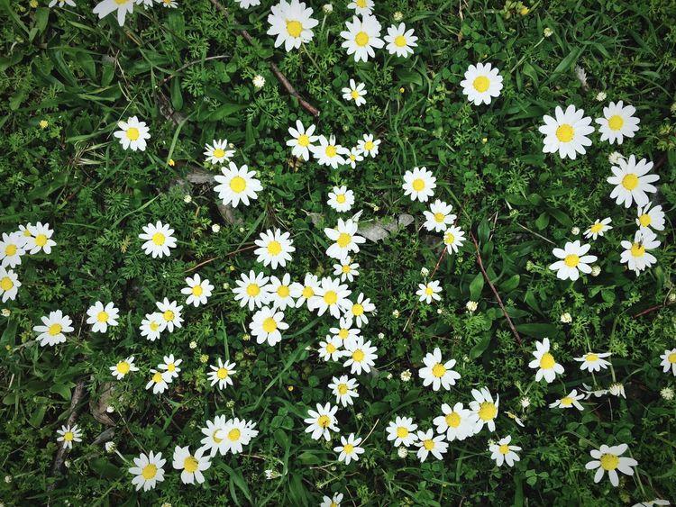 Daisy Flowers Grass Green Nature