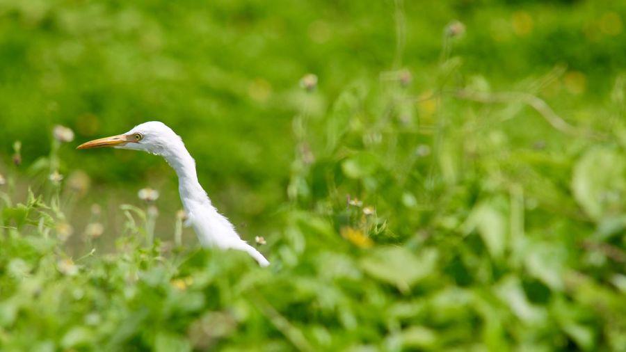 White Egret Amidst Green Plants