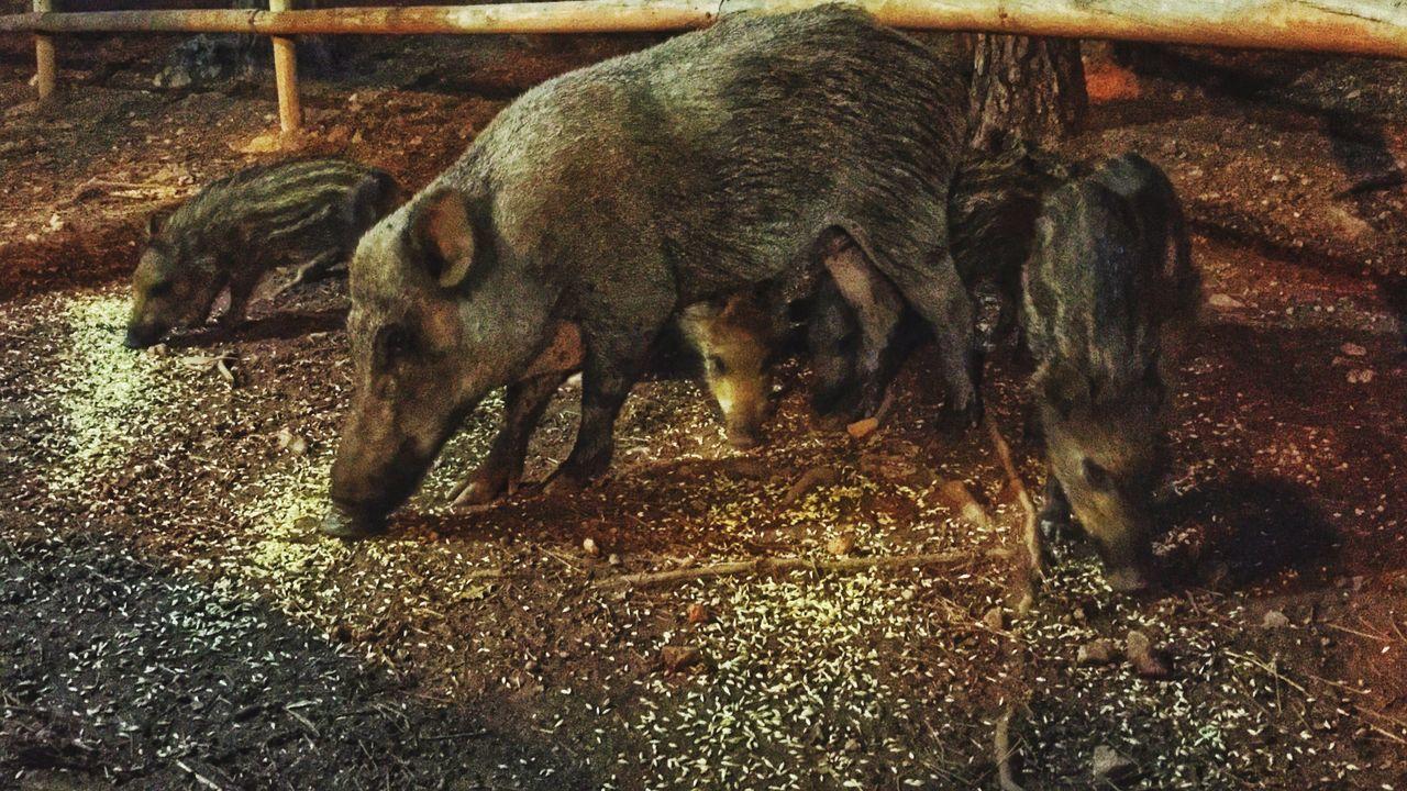 Wild Boars Feeding On Ground At Zoo