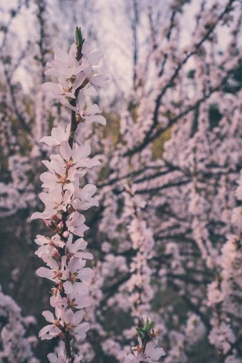 Tree Multi Colored Colors Beauty In Nature Nature Landscape Cherry Blossom Spring Flowers Springtime Southkorea Colored Background Plant Growth Tree Flowering Plant Flower Beauty In Nature No People