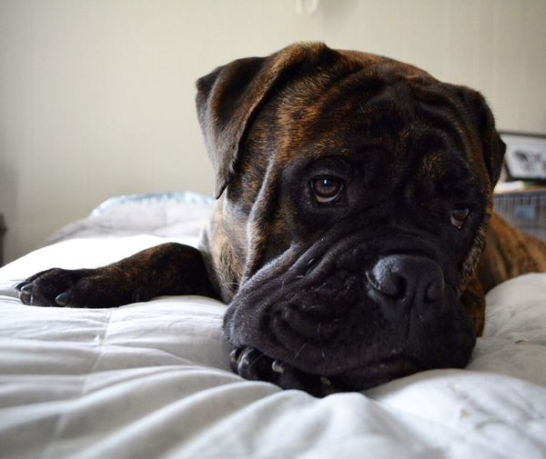 Close-up of bulldog resting on bed at home