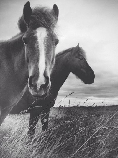 Icelandic horses in Álftanes Iceland Black & White The Minimals (less Edit Juxt Photography) Shootermag