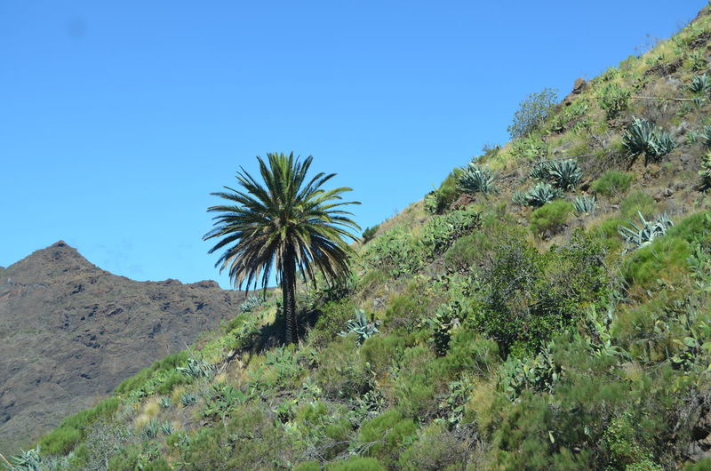 Canary Islands Palm Tree Arid Climate Beauty In Nature Blue Clear Sky Day Environment Green Color Growth Land Landscape Masca Valley Mountain Nature No People Non-urban Scene Outdoors Plant Scenics - Nature Sky Tenerife Tranquil Scene Tranquility Tree