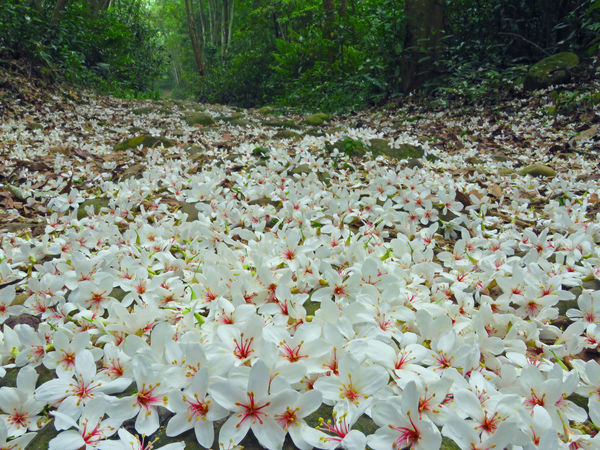 Quiet forest, floating under the white tung flowers, covered with country roads. Natural Abundance Beauty In Nature Blooming Close-up Day Falling Flowers Flower Flower Head Forest Fragility Fresh Freshness Growth Leaf Nature No People Outdoors Petal Plant Plant Flowers Tranquility Tree Tung Blossom White Flowers