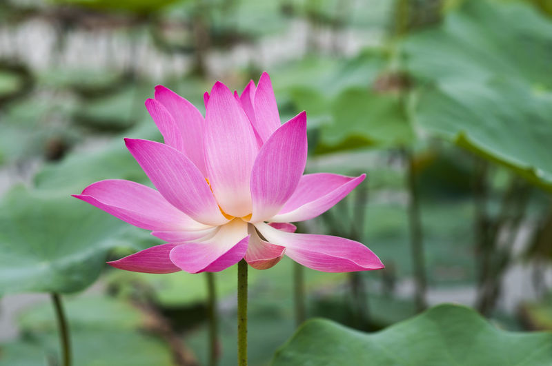 Lotus flower Aquatic Flowering Plant Meditating Meditation Nature Plant Thailand Background Beauty In Nature Blossom Buddhism Chinese Flora Flower Lotus Water Lily Pink Color Tropical Water Lily Water Lily Flower Zen