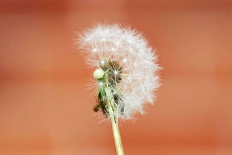 Make a wish! ✨🥳🍾 Float Delicate Softness Round Nikon Beauty Is In The Eye Of The Beholder Blowing In The Wind... Half Dandelion Seed Head Make A Wish Weed Dandelion Plant Flowering Plant Fragility Vulnerability  2018 In One Photograph Close-up Colored Background No People Nature Dandelion Seed Beauty In Nature Plant Stem Uncultivated Growth Softness Focus On Foreground Outdoors