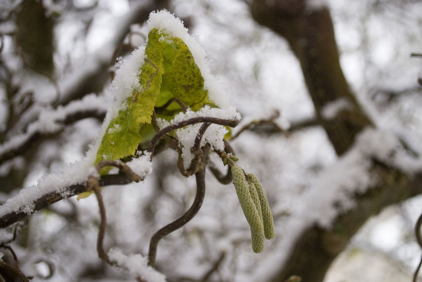 Animal Themes Beauty In Nature Branch Close-up Cold Temperature Day Focus On Foreground Fragility Green Color Growth Leaf Nature No People Outdoors Plant Snow Tree Winter