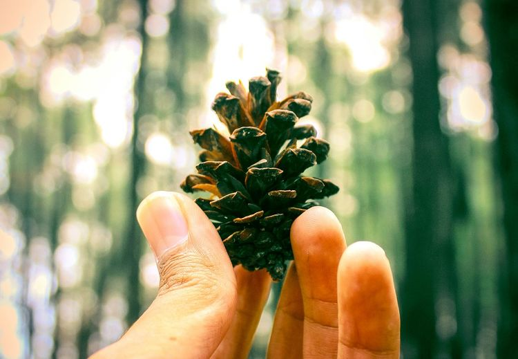 Close-up of hand holding pine cone against trees in forest