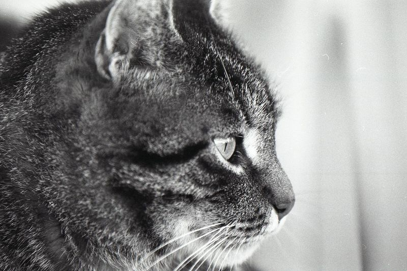 One Animal Mammal Animal Themes Animal Close-up Cat Pets Domestic Animals Domestic Feline Domestic Cat Vertebrate Animal Body Part No People Animal Head  Whisker Looking Looking Away Indoors  Side View Profile View Animal Mouth Snout