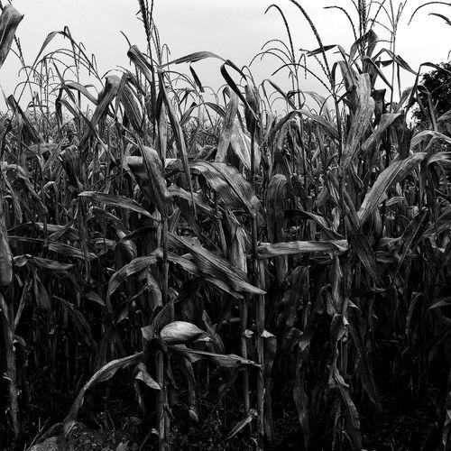 Corn field Corn