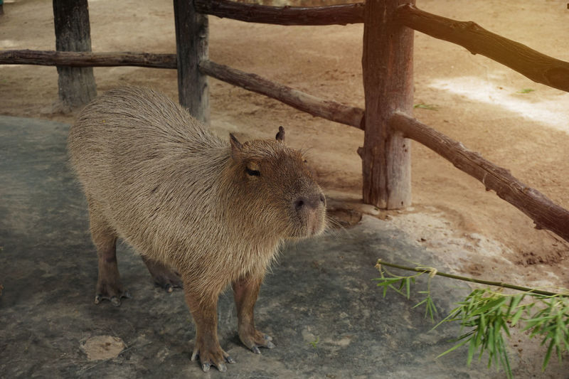 Capybara is biggest rodent in the world