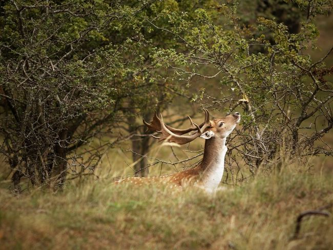 Fallow Deer Buck In The Bush Plant Tree Land Animal Wildlife Deer Animal Themes Nature Animals In The Wild