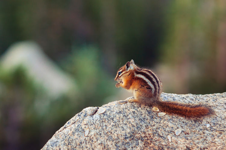 Close-up of chipmunk eating nut on rock