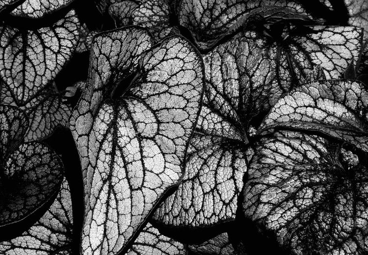 Black And White Macro Of Leaves Tree Branch Bare Tree Plant Nature Full Frame Close-up Complexity Textured  Backgrounds Beauty In Nature Pattern Pattern, Texture, Shape And Form Texture Abstract Macro Decoration Black And White Monochrome Bloom Design Botany